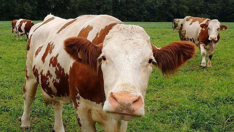 Von Milchkühen und Kälbern